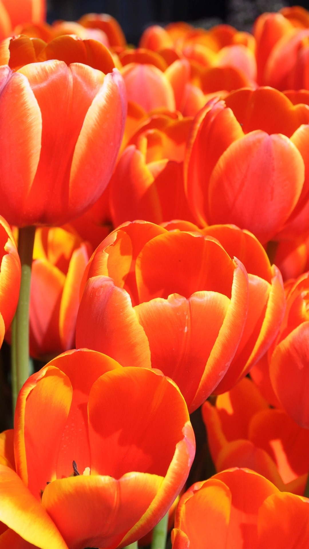 Orange tulips beautiful