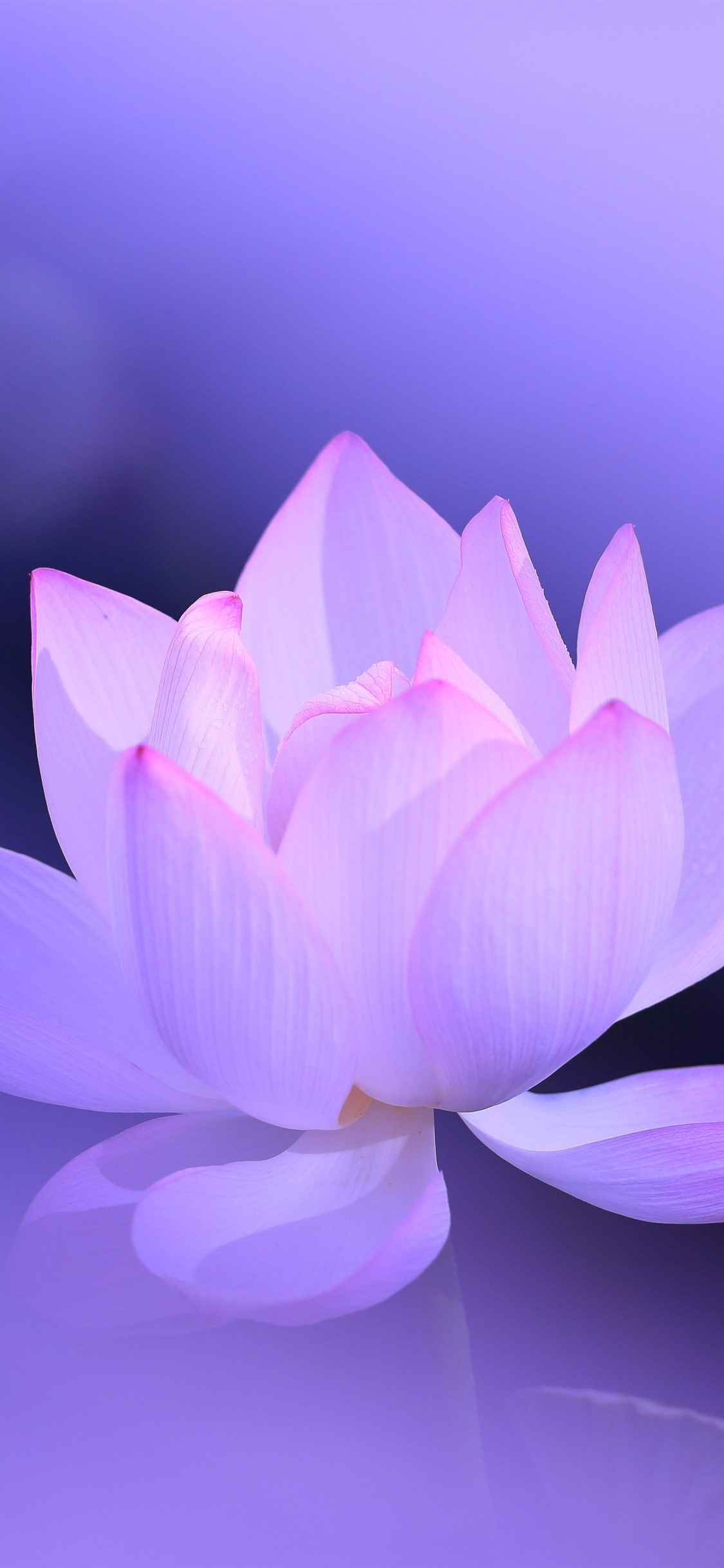 Pink Lotus Petals Purple Background Hazy Beautiful Flower 1242x2688 Iphone 11 Pro Xs Max Wallpaper Background Picture Image Collection by kaddu halima • last updated 6 days ago. pink lotus petals purple background