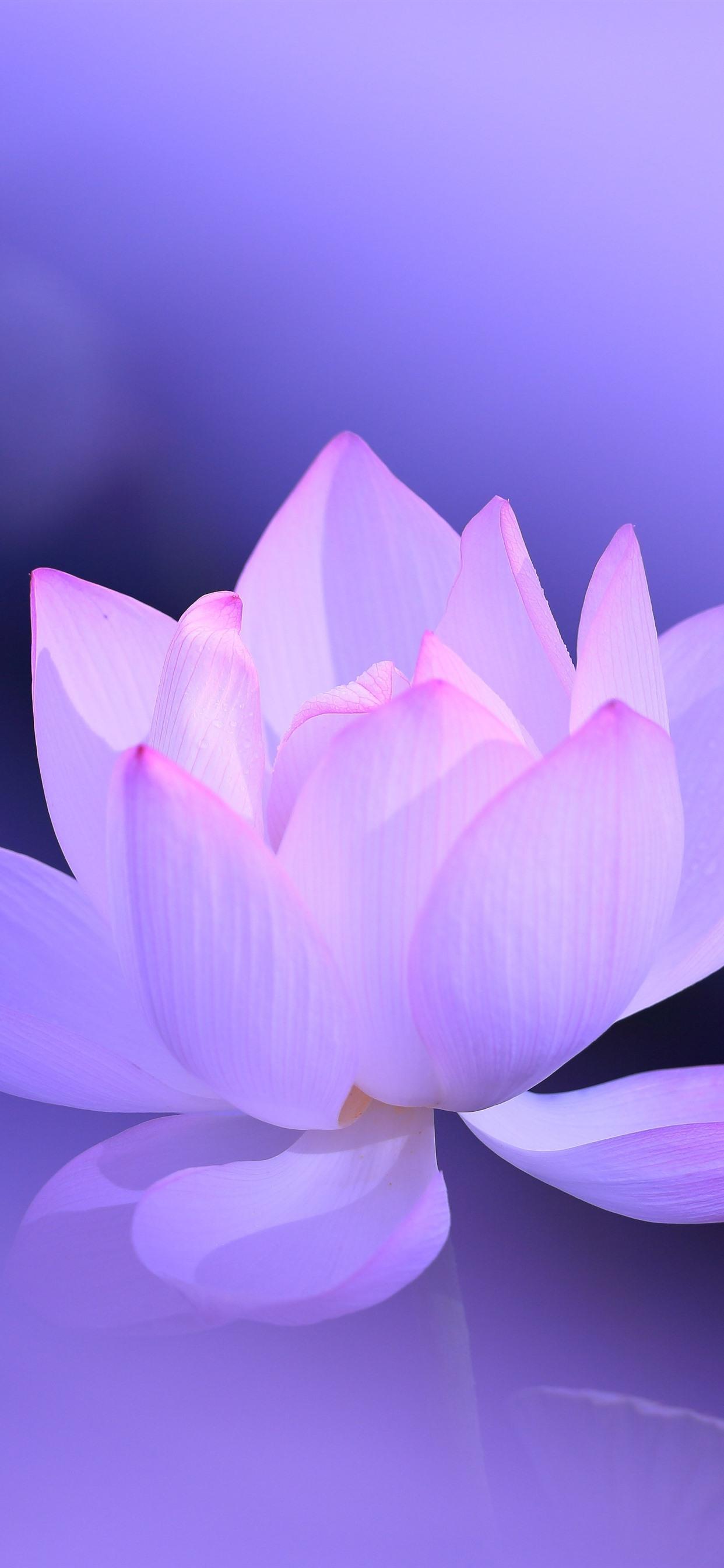 Pink Lotus Petals Purple Background Hazy Beautiful Flower