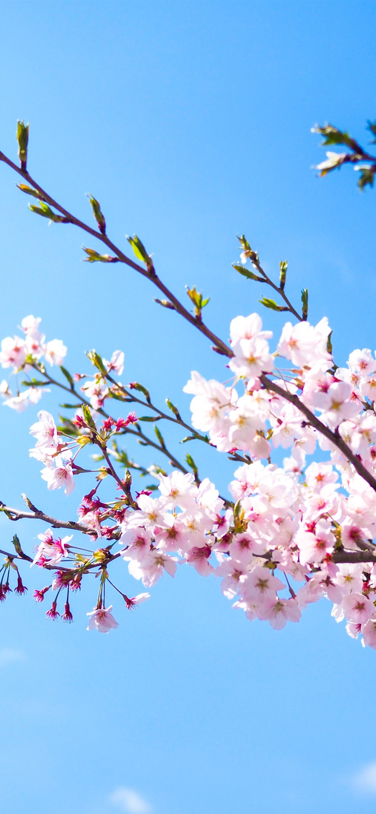 Wallpaper Pink Sakura Bloom Blue Sky Spring 3840x2160 Uhd