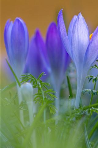 iPhone Wallpaper Purple crocuses, petals, green grass