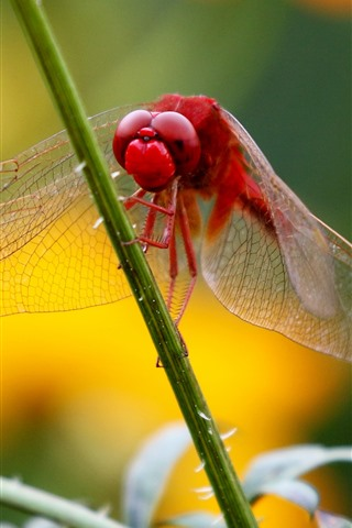 iPhone Wallpaper Red dragonfly, grass stem