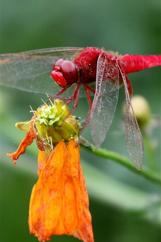 iPhone Wallpaper Red dragonfly, insect close-up, yellow flower