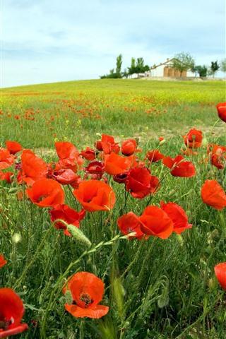 iPhone Fondos de pantalla Amapolas rojas, primavera, campo