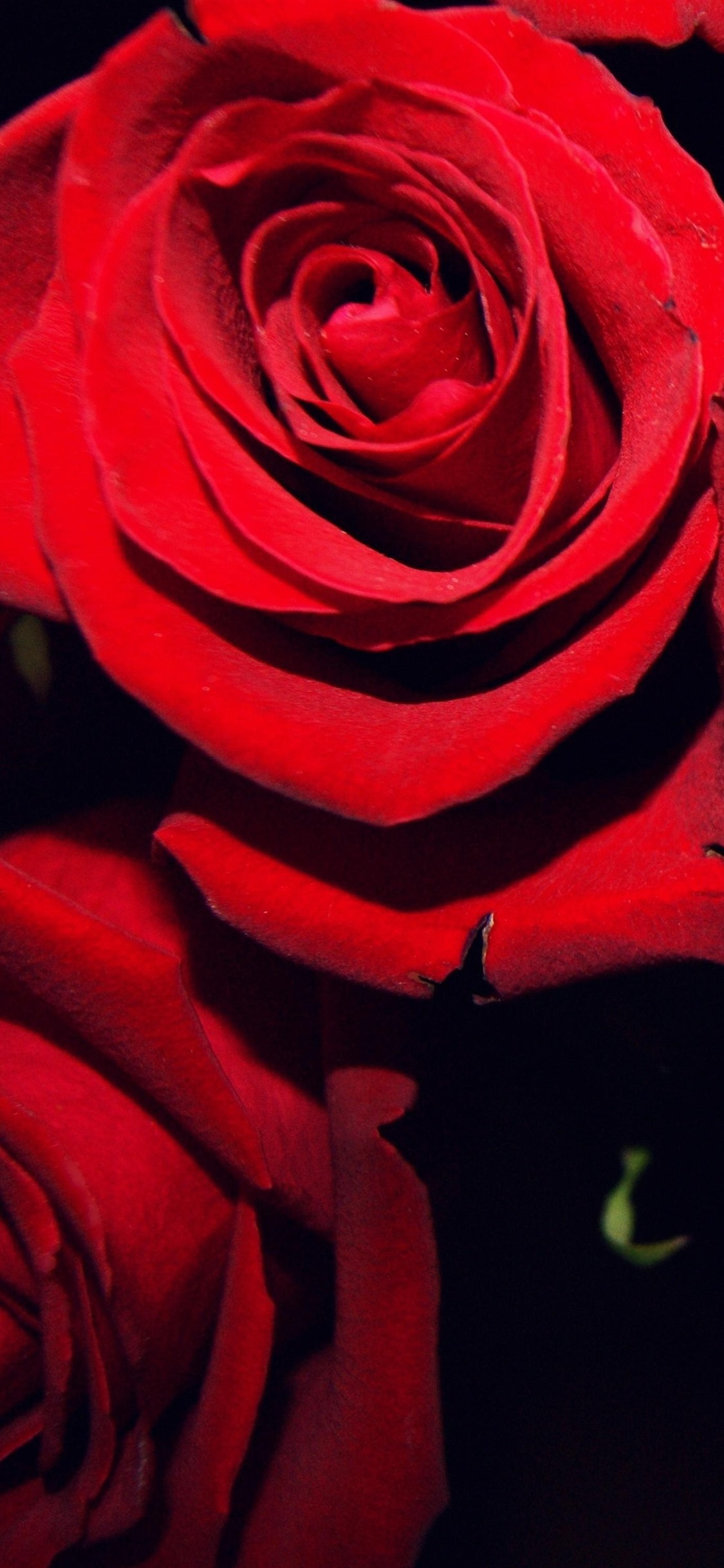 Red Roses Black Background 1242x2688 Iphone 11 Pro Xs Max Wallpaper Background Picture Image