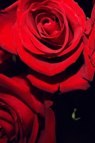 iPhone Fondos de pantalla Rosas rojas, fondo negro