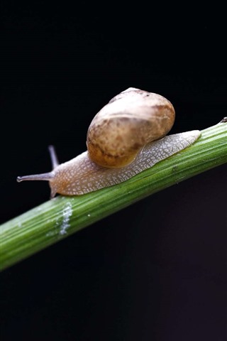 iPhone Wallpaper Snail, insect, black background