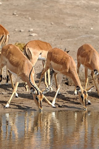 iPhone Wallpaper Some antelopes drink water