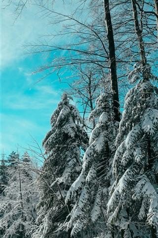 Spruce Trees Snow Winter Blue Sky 1242x2688 Iphone Xs