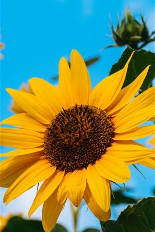 iPhone Fondos de pantalla Girasoles, pétalos amarillos, cielo azul, verano.