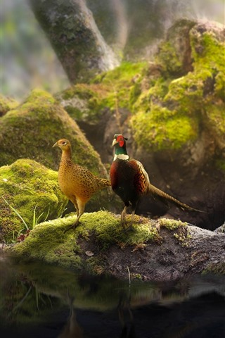 iPhone Wallpaper Two pheasants, couple, pond, stones, moss