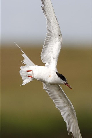 iPhone Wallpaper White seagull, flight, wings