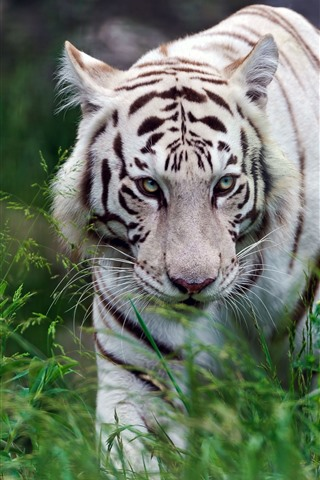 iPhone Wallpaper White tiger walking, grass, wildlife
