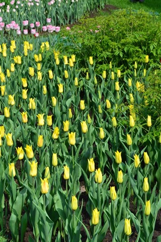 iPhone Wallpaper Yellow and pink tulips, garden flowers