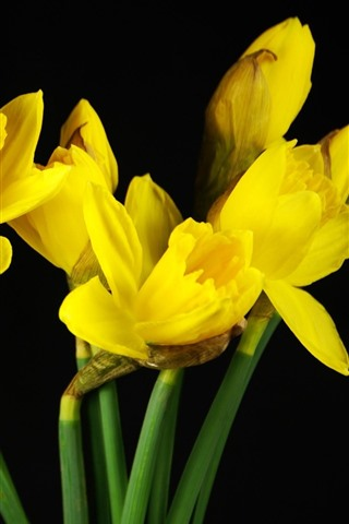 iPhone Wallpaper Yellow flowers, daffodils, black background