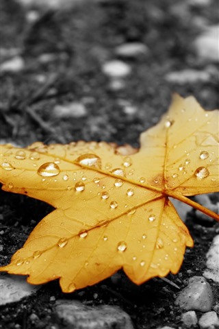 iPhone Wallpaper Yellow maple leaf, water droplets, ground