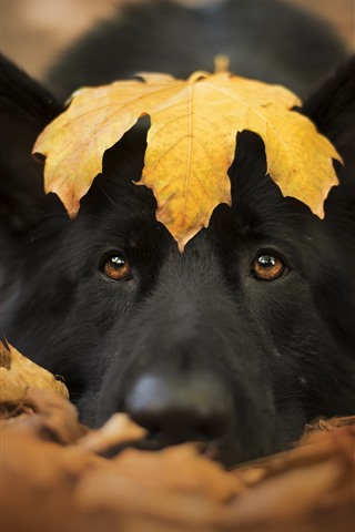 iPhone Wallpaper Black dog, face, yellow maple leaf