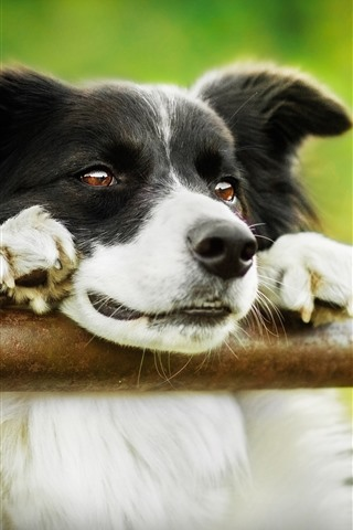 iPhone Wallpaper Border collie, green background