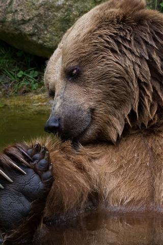 iPhone Wallpaper Brown bear bathing in water, wildlife