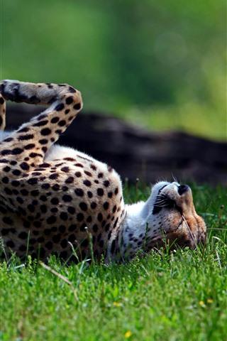 iPhone Wallpaper Cheetah rest on grass, paws