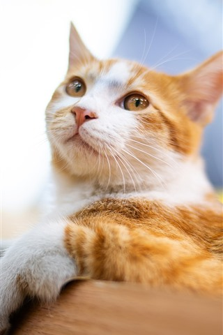 iPhone Wallpaper Cute cat, rest, look, pet
