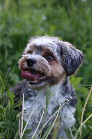 iPhone Wallpaper Dog, tongue, nature, grass