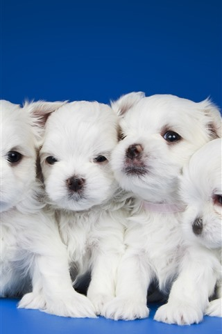 iPhone Wallpaper Five white puppies, blue background
