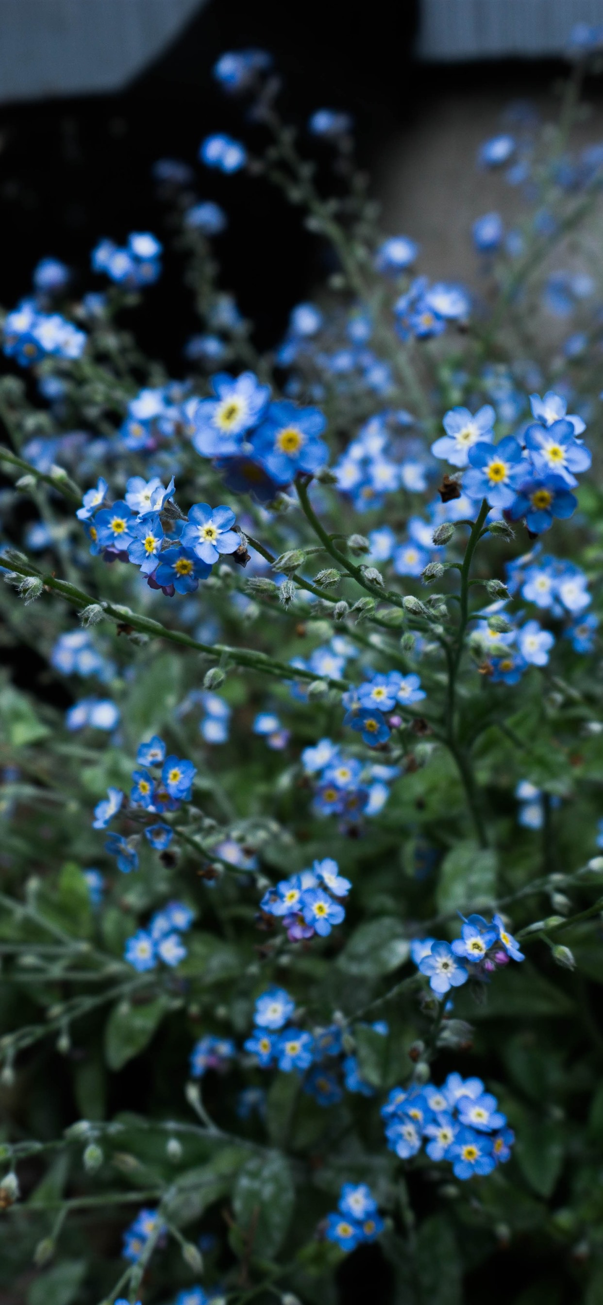 Forget Me Not Blue Little Flowers 1242x2688 Iphone 11 Pro Xs Max Wallpaper Background Picture Image
