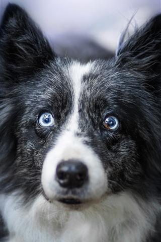 iPhone Wallpaper Furry dog, face, hazy
