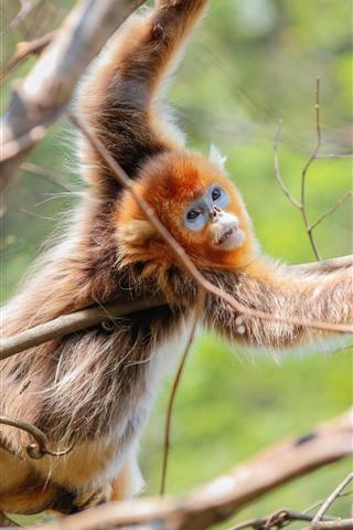 iPhone Wallpaper Golden monkey, tree, twigs, wildlife