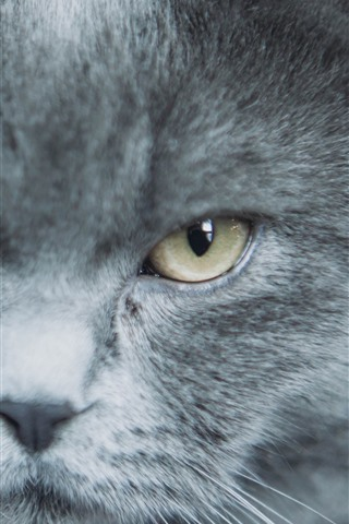 iPhone Wallpaper Gray cat, face, eyes, look