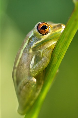 iPhone Wallpaper Green frog, plant stem