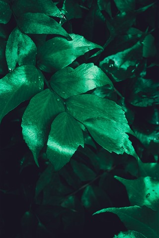 iPhone Wallpaper Green leaves, water droplets, darkness