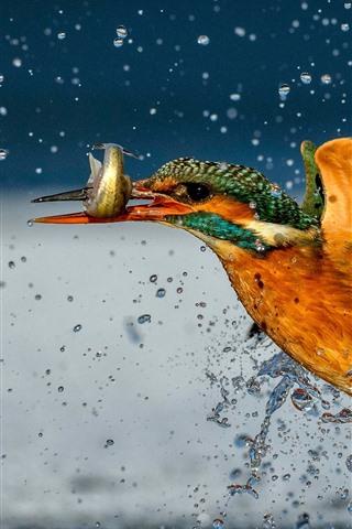 iPhone Wallpaper Kingfisher catch a fish, water splash