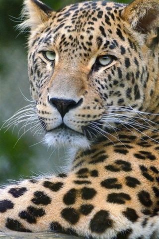 iPhone Wallpaper Leopard, wildlife, face, hazy background