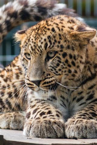 iPhone Wallpaper Leopard, zoo