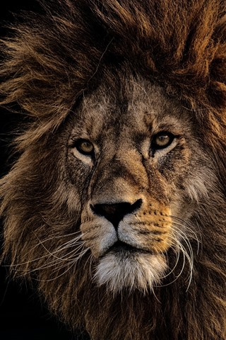 iPhone Wallpaper Lion, face, mane, black background