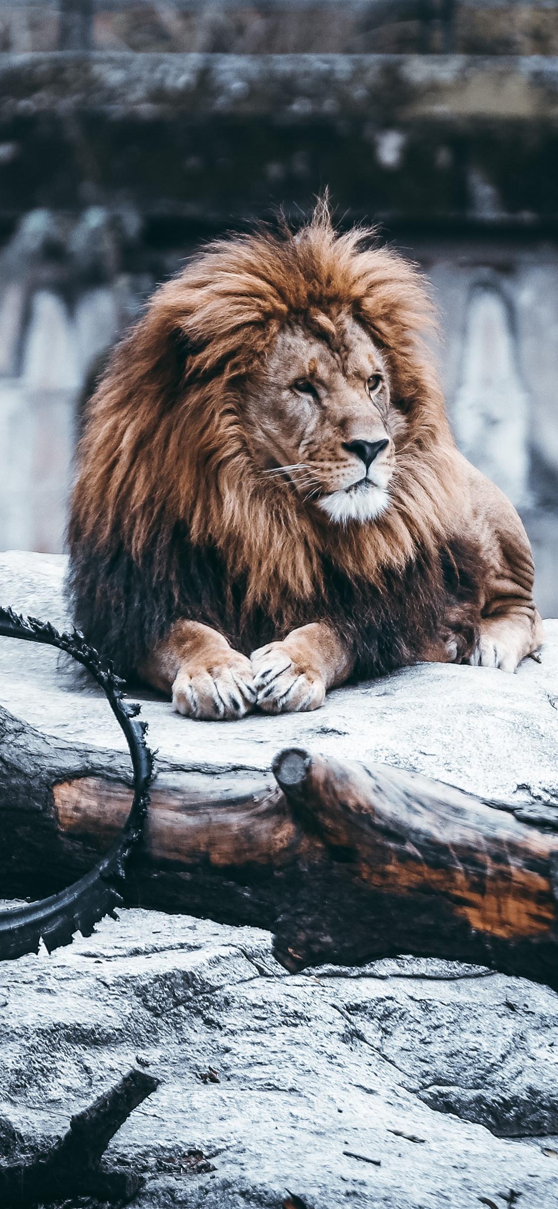 Lion Mane Rocks Wheel Zoo 1242x2688 Iphone Xs Max