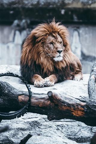 iPhone Wallpaper Lion, mane, rocks, wheel, zoo