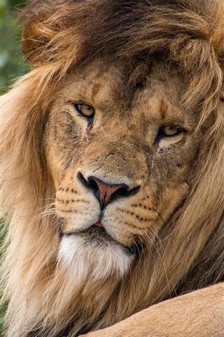 iPhone Wallpaper Lion rest, look back, mane