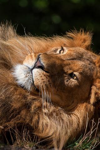 iPhone Wallpaper Lion rest, paws, mane