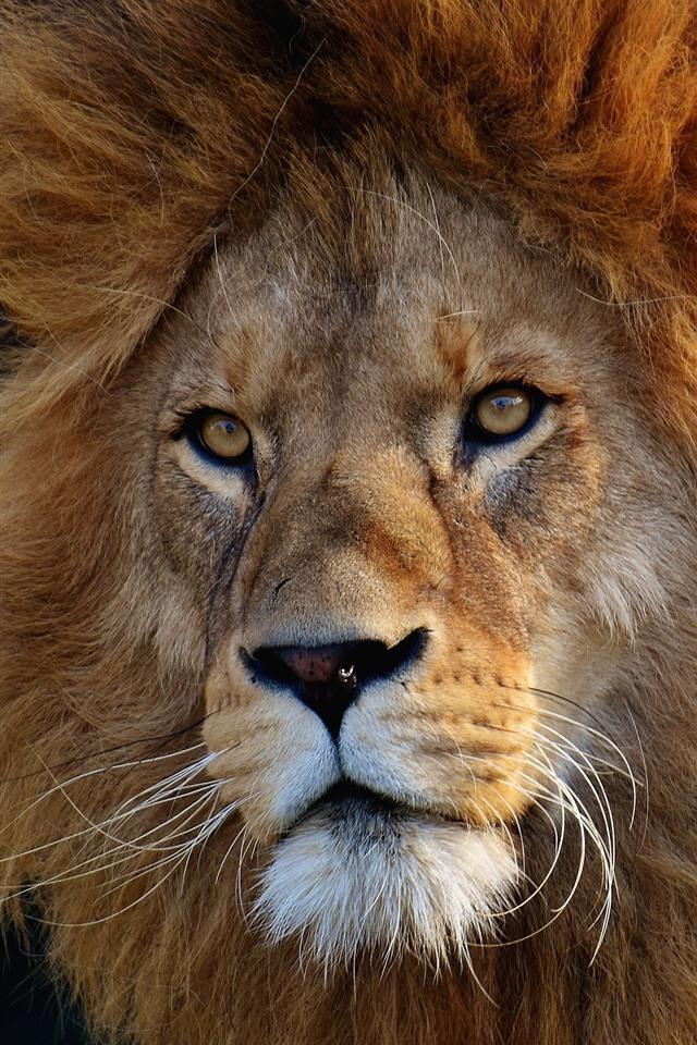 Wallpaper Lion Wildlife Face Mane 3840x2160 Uhd 4k
