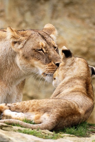 iPhone Wallpaper Lioness and lion cub