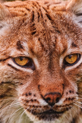 iPhone Wallpaper Lynx, head, eyes, face, front view
