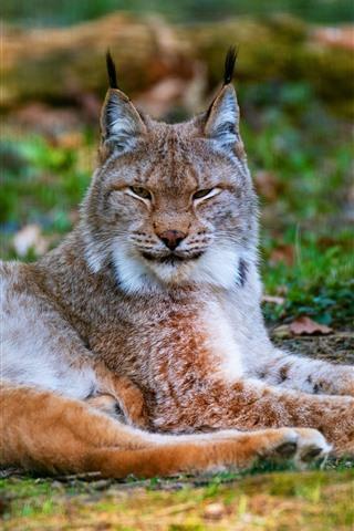 iPhone Wallpaper Lynx, wildcat, rest, ground