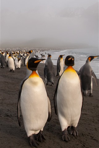 iPhone Wallpaper Many penguins, sea, beach, fog