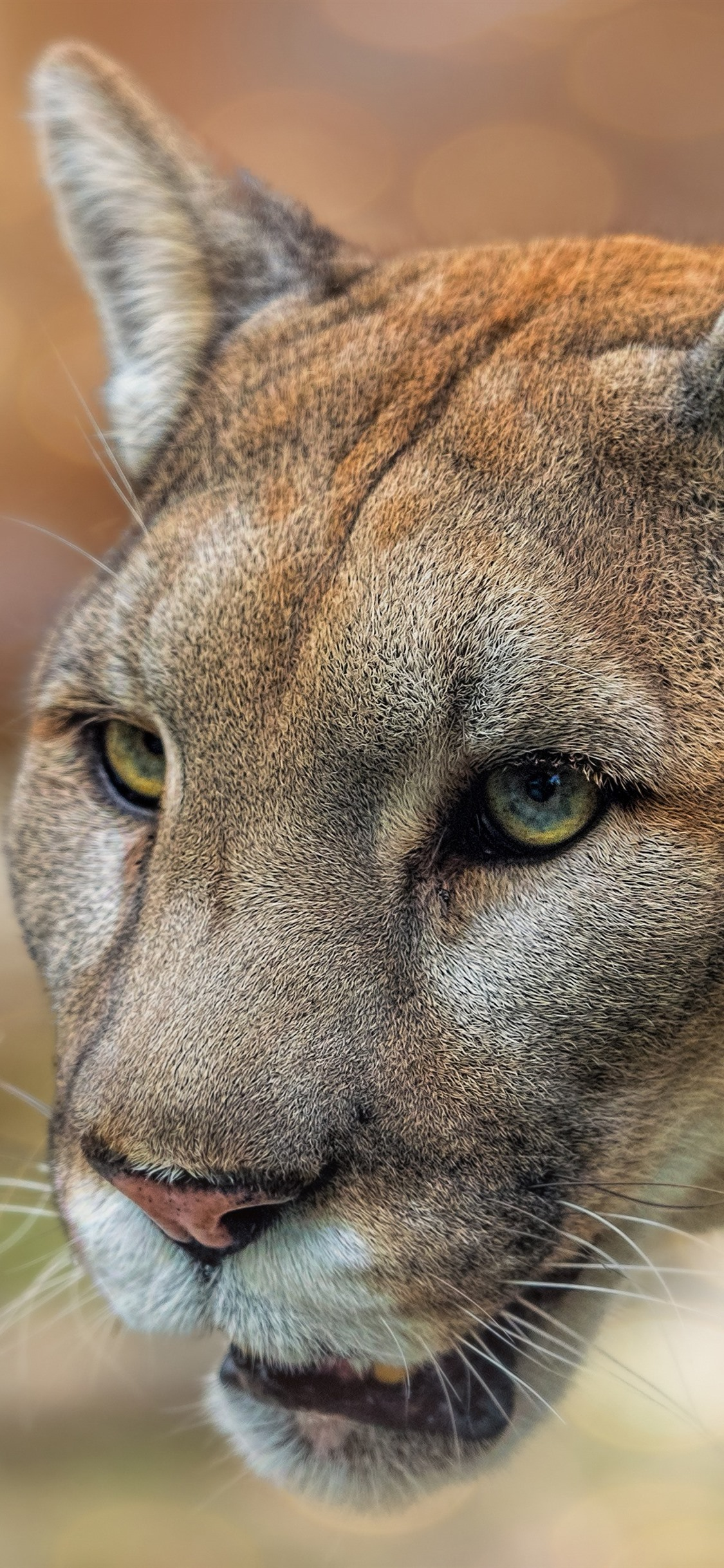 Mountain Lion Puma Face Eyes Wildlife 1125x2436 Iphone