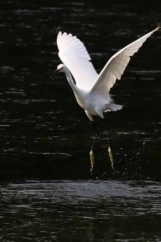 iPhone Wallpaper One egret walking in the water, open wings