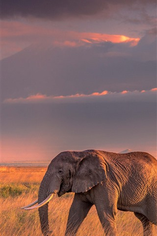 iPhone Wallpaper One elephant, grass, clouds