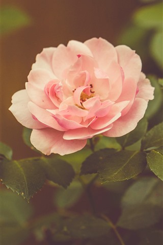 iPhone Wallpaper Pink rose, hazy background
